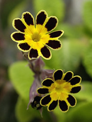 Golden Lace (Britta's photo world) Tags: ireland dublin flower macro garden spring britta primula polyanthus excellence supershot niermeyer bej goldenlace diamondclassphotographer flickrdiamond platinumheartaward flickrslegend goldstaraward mailciler llovemypic mimamorflowers showmeyourqualitypixels oraclex
