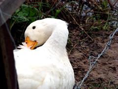 QuaC! QuaC! 2 (omundo) Tags: branco brasil pato cho terra maranho fazenda nordeste bico arame farpado quacquac
