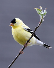 All Alone (Team Hymas) Tags: vancouver washington goldfinches naturesfinest shirleen avianexcellence