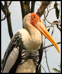 PaintedStork Closeup