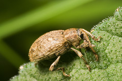 "Its a Weevil • <a style=""font-size:0.8em;"" href=""http://www.flickr.com/photos/57024565@N00/2505831027/"" target=""_blank"">View on Flickr</a>"