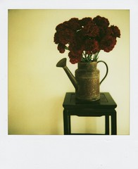carnations (mamako7070) Tags: flowers red plants flower polaroid carnation instantcamera sun660 instantfilm filmshot