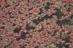 Water fern - Explored (Cefn Ila) Tags: azollafiliculoides fern twolocks canal plant