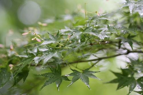 雨を楽しむもみじ / The scenery which rain matches