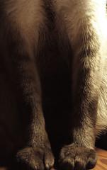 Elegancia ( Conito ) Tags: gato felino siames