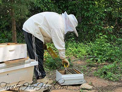 Putting honey frame in box