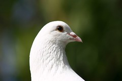 Dove (Jaime Carter) Tags: newzealand white bird dove hamilton waikato englishgarden hamiltongardens whitedove featheryfriday jaimewalsh