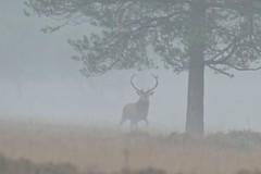 Misty morning (Chalto!) Tags: stag deer newforest reddeer rut beautifulworldchallenges