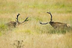 Red Deer (Cervus Elephus) (William Richardson) Tags: richmond reddeer cervuselephus rutrutting