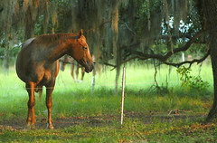 (Sco C. Hansen) Tags: horse beautiful animal scott photo moss oak spanish photograph strong hansen beaufort lowcountry beaufortcounty scotthansen