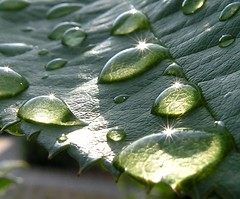 Gocce - Drops and starlight (fgross) Tags: macro verde nature wet water flora nikon waterdrop wasser natur natura drop dew views foglia blatt acqua rugiada riflessi controluce tropfen polaris gocce nass starlight vegetazione eow bagnata favorites100 fogliabagnata colourartaward a3b gotasdrops amgalgenberg mcb1703