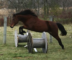 Cricket Jump (MilwaukeeJohn) Tags: horses horse beauty field animals jumping farm cricket explore riding pasture creatures tj tails seabiscuit mycousin loh manes thankssonny shootingwithpendragon suchgreatanimals thiswasajoytoshoot nowimissbeingaroundhorses