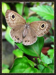 Ypthima huebneri (Common 4-ring butterfly) with wings beautifully spread out! Taken Nov. 13, 2007