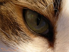 Fusillo right eye (*DaniGanz*) Tags: white cute verde green eye cat catwomen interestingness tabby tiger kitty explore greeneye gatto bianco kittie 409 micio fusillo tigrato daniganz flickrsexplore mywinners interestingcat occhioverde platinumphoto diamondclassphotographer flickrdiamond ochhio top20vivid