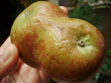siamese apples