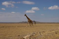 route girafes4 (VanEtNico) Tags: girafe tanzanie surlaroute