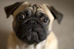 Bubbies (Carl Carl) Tags: dog cute pug canine ugly
