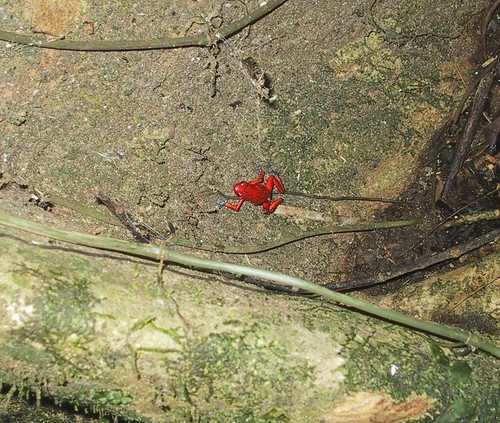 Ranita roja