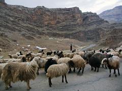 Iraq Kurdistan (Chris Kutschera) Tags: sheep iraq nomad mouton kurdistan irak galialibeg