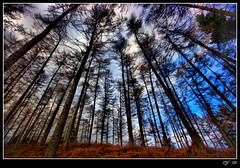 Cannock Chase (rjt208) Tags: uk greatbritain blue trees england sky west green forest canon landscape outdoors eos britain wildlife perspective explore cannock chase milford upwards midlands naturesfinest 400d mywinners anawesomeshot superbmasterpiece diamondclassphotographer flickrdiamond rjt rjt208 bigpicture2008 stokeandstaffordshire