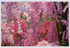 A fine day (Marie Eve K.A. (away..)) Tags: park travel pink trees plants flower nature floral japan garden spring kyoto ode   cherryblossom sakura botanic    chekhov           firstquality canoneoskiss     fineartphotos   platinumphoto anawesomeshot   superbmasterpiece citrit theperfectphotographer goldstarawa