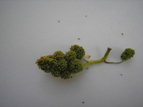 tree bud seed thing