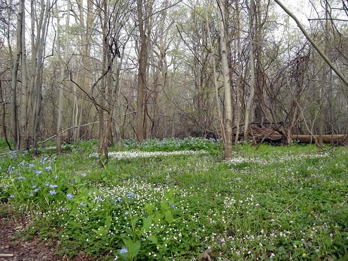 Bluebells at Deer Run