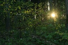 Sun peaking through young leaves (Murel Merivee) Tags: sunset evening spring bog wetland mire nigula