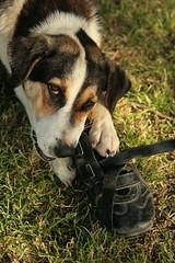 i eat shoes (1a1e) Tags: dogs shoes ava
