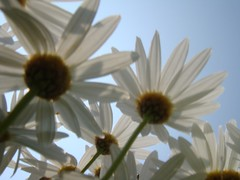 slightly out of focus03.JPG (midorisyu) Tags: outoffocus  white flower sony cybershot t2 kanazawahakkei yokohama japan