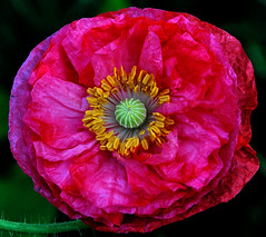 Large flower (shinichiro*) Tags: flower macro japan nikon sold poppy getty 2008 crazyshin d3 rf papaver excellence aroundhome 60micro flowerotica mywinners ds11367 85153891 order500 2012sold 201207sold