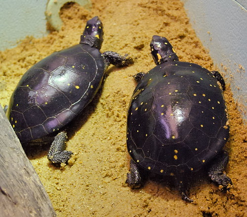 Saint Louis Zoological Garden, in Saint Louis, Missouri, USA - turtles 2