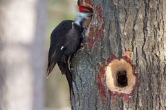 Pileated Woodpecker - In Motion (-SOLO--) Tags: flickrfriday motionblur woodpecker pileatedwoodpecker tree hole