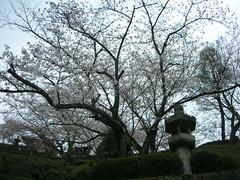 DSCN7481 (Luca Nonato) Tags: tree japan cherry kyoto blossom sakura fiore albero ciliegio fioritura