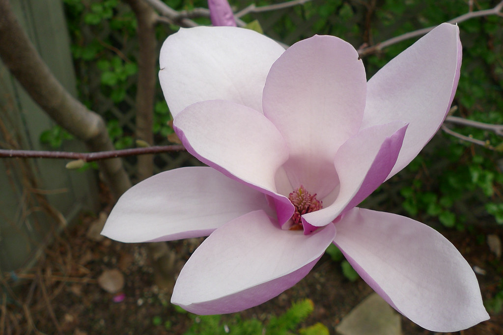 "Copyright Photo: ""Alexandrina"" Magnolia Blossom by Montreal Photo Daily, on Flickr"