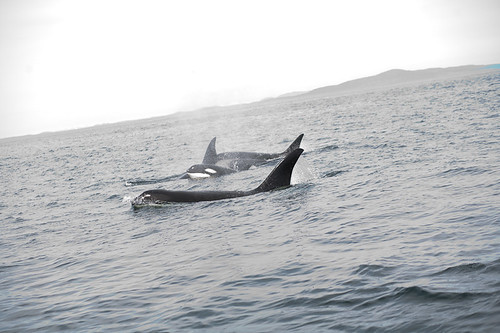 Killer whale Pod with Baby!