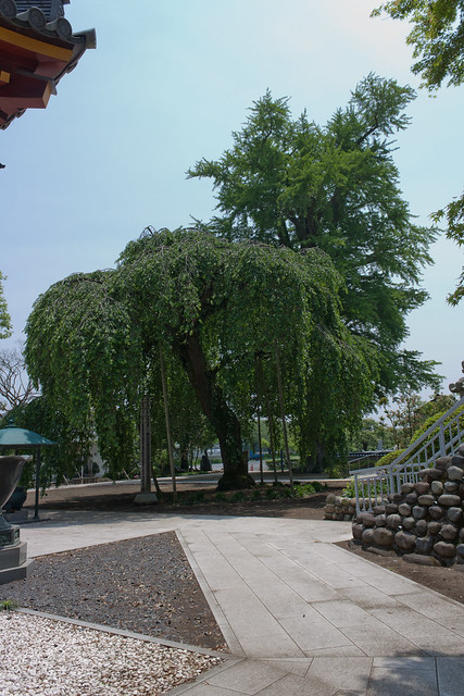 #4 The Giant Ginkgo of Jougan Temple Revisited