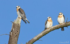 WHITE-TAILED KITES (sea25bill) Tags: california morning sun tree birds branches bluesky trio birdsofprey juveniles whitetailedkites
