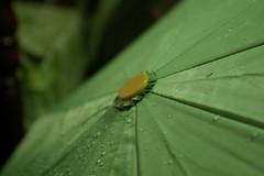 Umbrella (mezarc da diva) Tags: life family friends hot love pentax sweet philippines manila tropical filipino rizal dslr digitalslr pinoy cainta k100d outstandingpinoykodakero justpentax mezarc buslon
