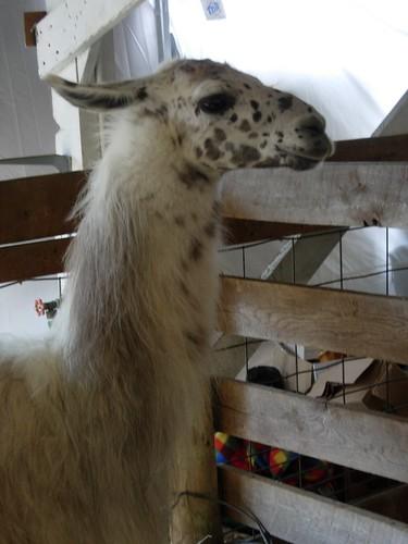 Snobby Llama