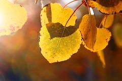 The Tree of Golden Hearts (janoid) Tags: autumn leaves hearts golden searchthebest soe xoxox mywinners shieldofexcellence flickrelite justtomakeuseofyourfuntagsithinkyouandhilaryclintonsharethesamebirthday