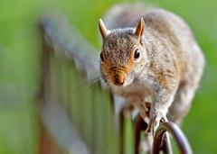 On the Fence (graspnext) Tags: squirrel photofaceoffwinner photofaceoffplatinum pfogold feb08pfobrackets