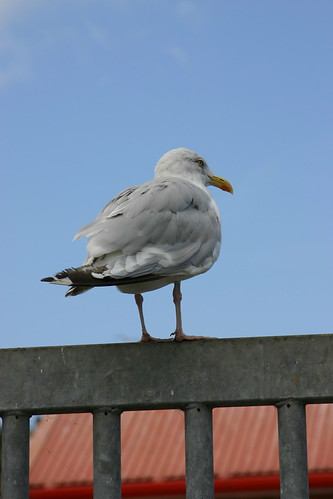 Gull at Whitby