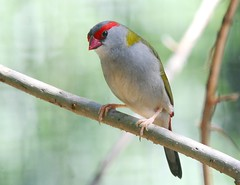 Red-browed Firetail (marj k) Tags: bird newcastle australia finch nsw passeriformes estrildidae redbrowedfiretail neochmiatemporalis naturewatcher
