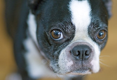 first D300 post (blogjam_dot_org) Tags: dog bostonterrier nikon raw nef nikkor iso1600 d300 85mmf14d misterpeabody 14bit