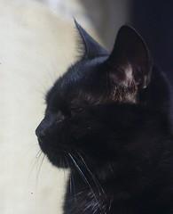 ETTORE (Sante.boschianpest) Tags: cat blackcat gatto ettore gattonero