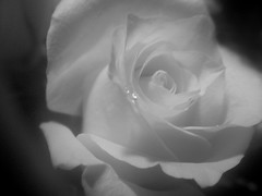 hold me ever so tender (Essence of :Hopes Fine art Photography) Tags: white black rose perfect waterdrop photographer tender the