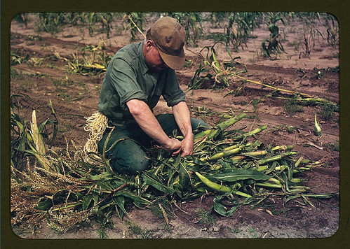 Son of Jim Norris, homesteader, tying corn into bundles, Pie Town, New Mexico (LOC) by The Library of Congress.