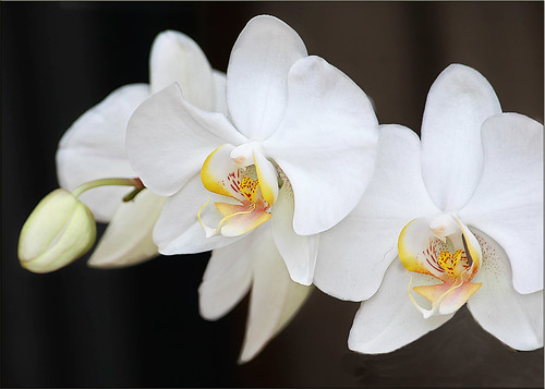 White on Black Orchids