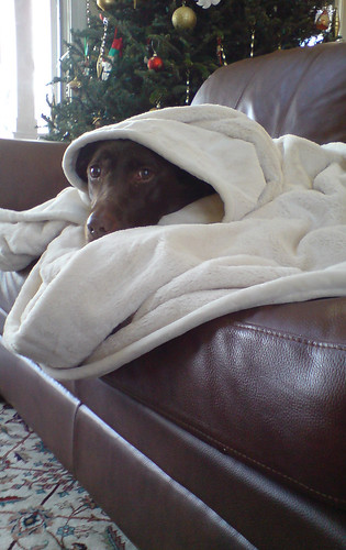 Pig, a chocolate lab, in a Blanket